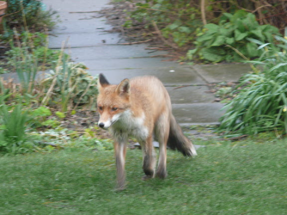 Fox in our garden and a big one at that.